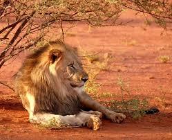 Caçador de rinocerontes é pisoteado por elefante e devorado por leões