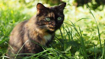 Austrália pretende envenenar 2 milhões de gatos