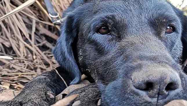 Cão-bombeiro herói de Brumadinho morre durante buscas em SC