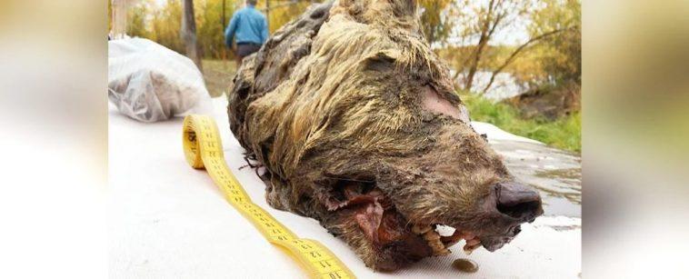 Caçadores encontraram cabeça de lobo gigante enterrada no gelo