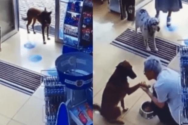 Cachorra ferida entra em farmácia e mostra pata machucada à farmacêutica