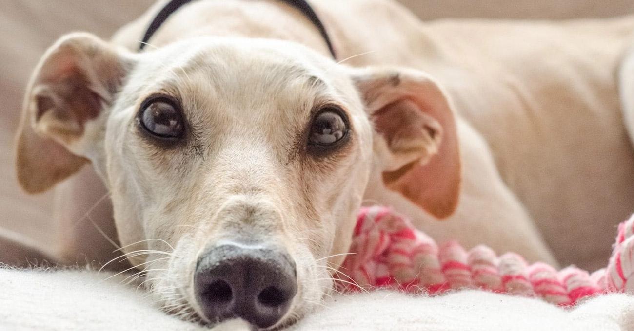 Estresse de dono contagia cães, segundo estudo