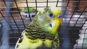 Exemplo para o mundo – Índia proíbe pássaros em gaiolas