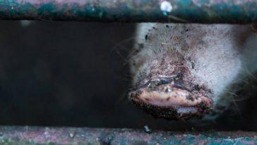 Novo vírus suíno já infectou 200 milhões de animais