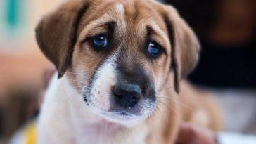 Rostos dos cães evoluíram para chamar atenção de humanos