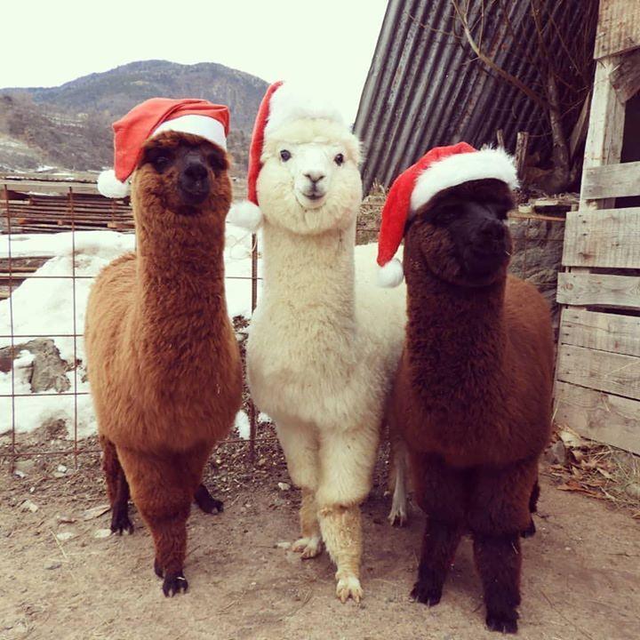 30 fotos de alpacas fofas e simpáticas para animar seu dia