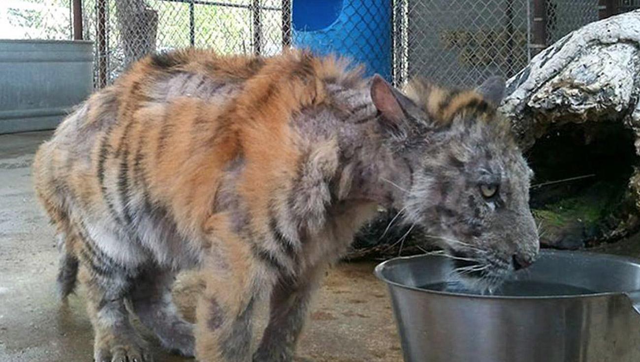 Tigresa resgatada de circo teve recuperação inacreditável – veja como ela está agora
