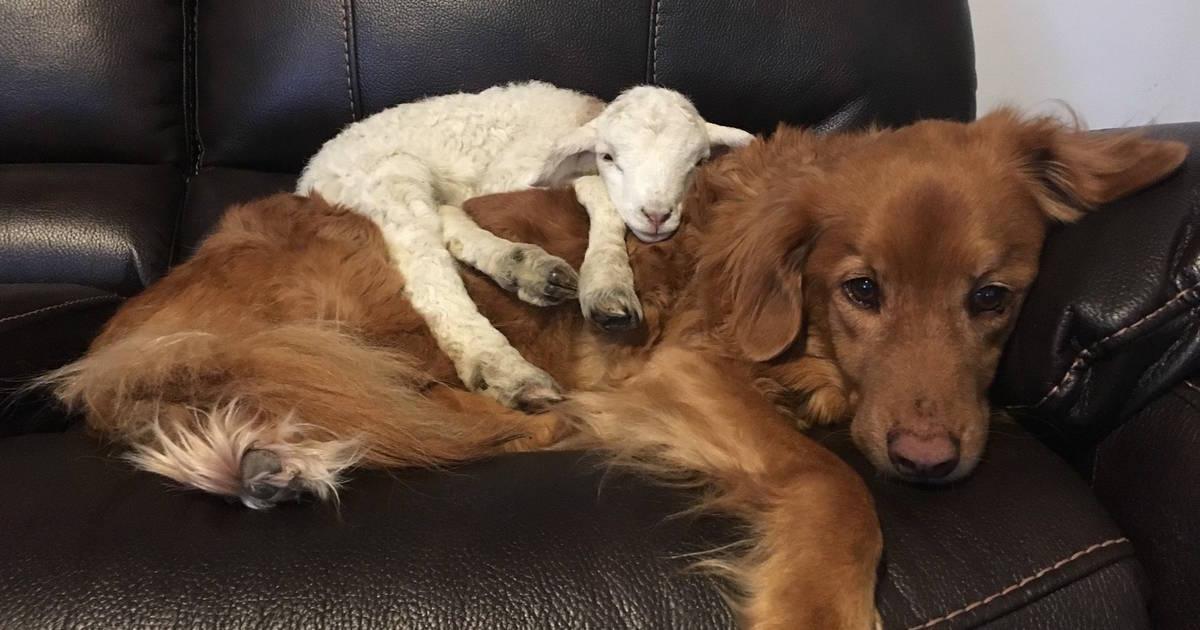 Cabritinho doente e cão fazem amizade e se ajudam