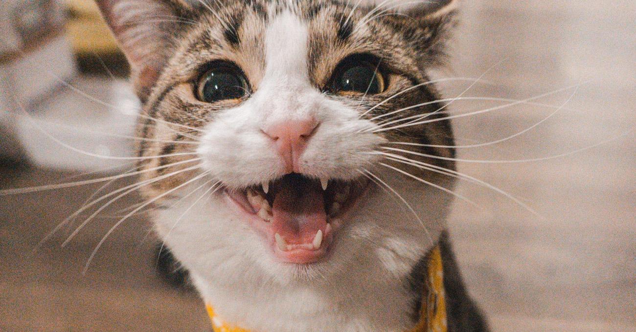 Gatos de estimação passarão quantidade de cães no Brasil dentro de cinco anos