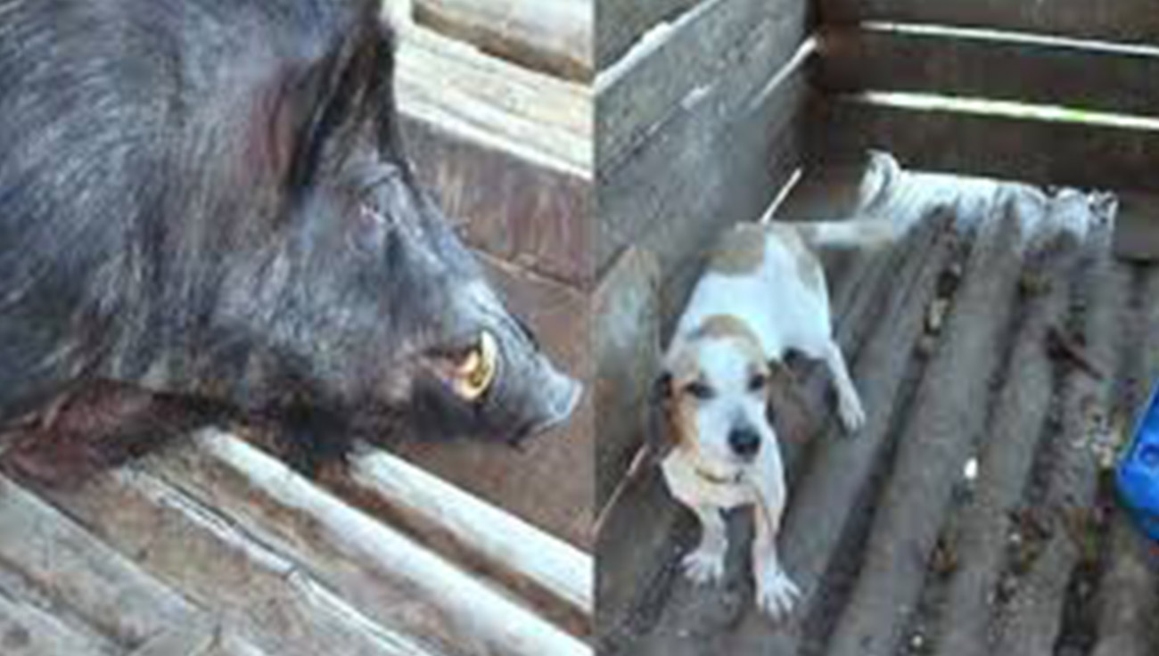 Força Tática Ambiental resgatou seis cães, 43 galos e um javali em situação de maus-tratos