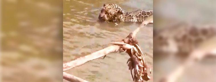 Filhote de onça-pintada fica preso em anzol e pescador o salva