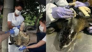 Tartarugas atingidas pelo óleo levarão meses para se descontaminarem