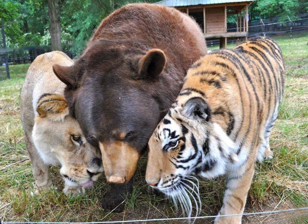 Leão, tigre e urso se tornam inseparáveis após serem resgatados de traficante