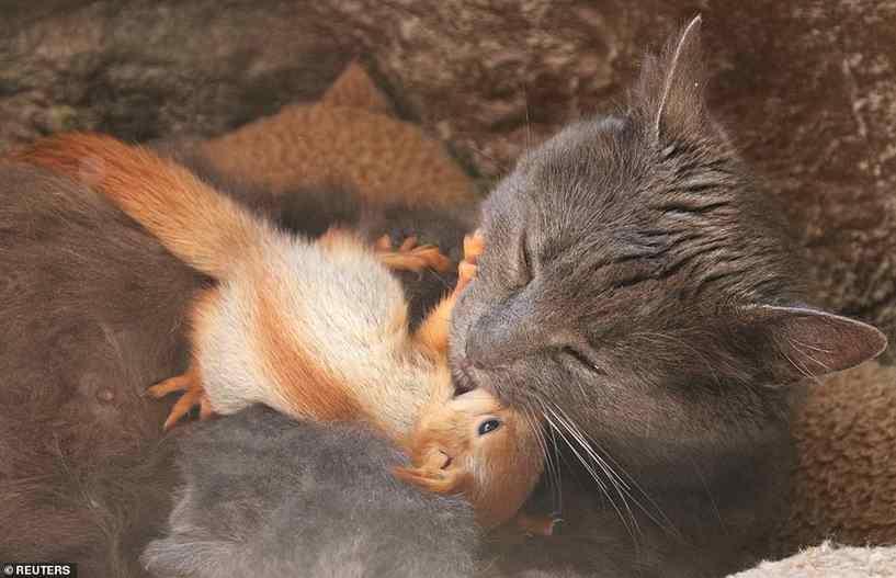 Gata adota filhotes de esquilo órfãos e os amamenta junto com gatinhos