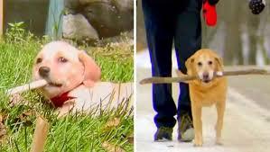 Cachorrinha apaixonada por gravetos adota galho por cinco anos