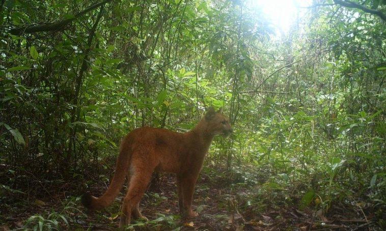 Onça-parda foi flagrada por câmera escondida em floresta da Baixada Fluminense