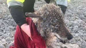 Trabalhadores resgatam lobo quase congelado achando que era cão
