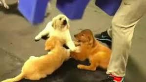 """Filhotes de golden retriever são flagrados de """"mãos dadas"""" em creche (vídeo)"""