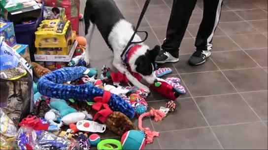 Cães e gatos de abrigo escolhem presentes debaixo de árvore de Natal em campanha de adoção