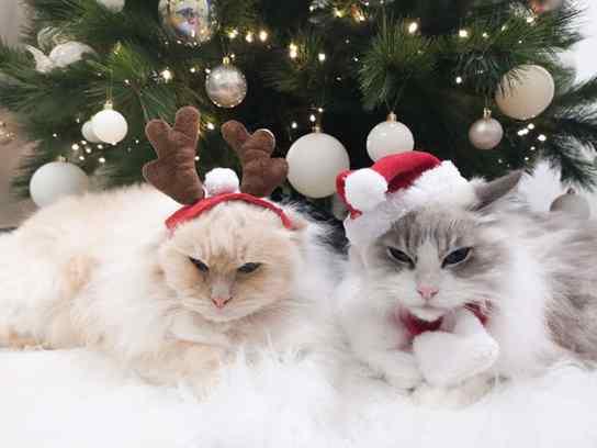 Gato tem medo de laranjas e dona faz barreira de frutas para proteger árvore de Natal