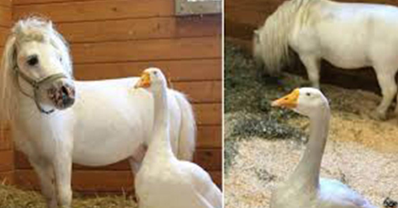 Amizade entre ganso e mini cavalo resgatados faz abrigo aceitar apenas quem os adote juntos