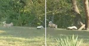 Cãozinho foge de casa para brincar com amigo gambá