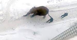 Elefante escapa de circo para brincar livremente na neve