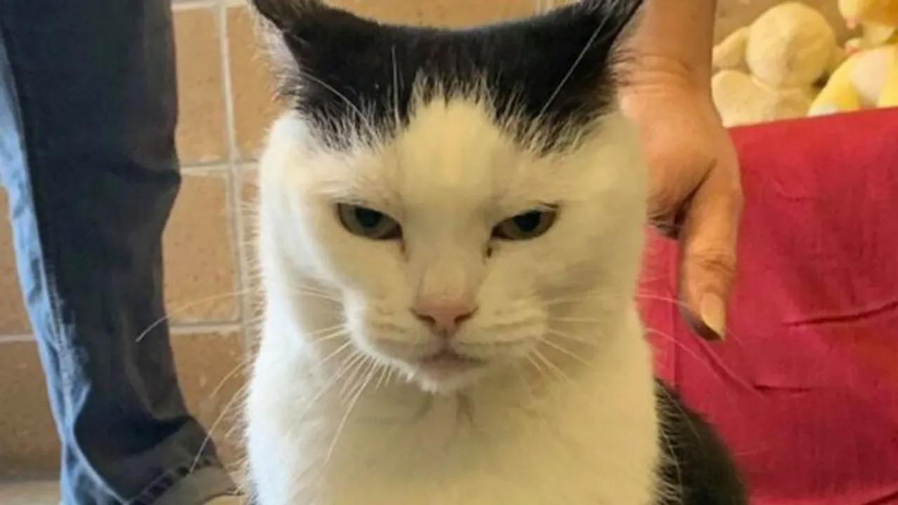'Pior gato do mundo' tem mais de 100 pedidos de adoção após post sincero sobre sua personalidade