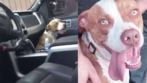 Simpático pitbull abandonado invade carro de casal e acaba adotado