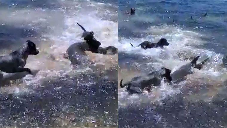 Vídeo incrível mostra cães brincando com tubarões