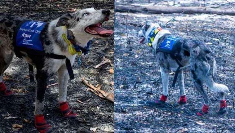 Cão abandonado se torna especialista em resgatar coalas em incêndios