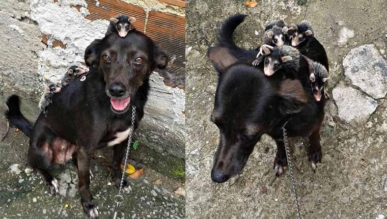 Cadela adota filhotes de gambá após mãe deles morrer em ataque de outro cão