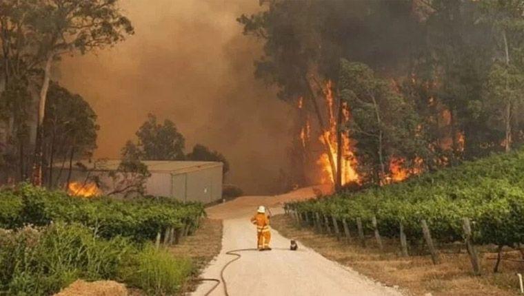 Coala ao lado de bombeiro assiste fogo destruindo seu habitat