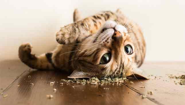 Ensaio fotográfico hilário mostra gatos sob efeito da erva-de-gato