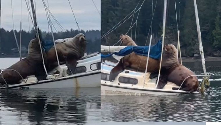 Leões-marinhos gigantes invadem barco para descansar e quase o afundam