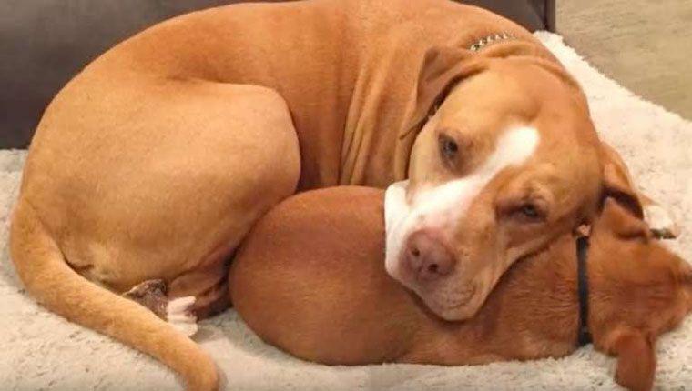 Pitbull se recusa a ser adotada sem o melhor amigo, um chihuahua