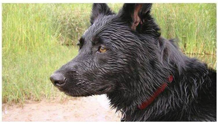 Cachorro viajou 100 km para morder antigo dono que o abandonou – isso é verdade?
