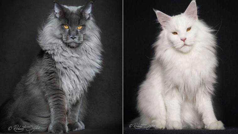 Curiosidades sobre gatos Maine Coon a maior raça de gatos do mundo