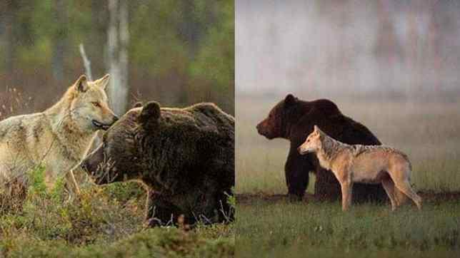 Urso e loba selvagem nutrem amizade incomum – dividem até comida