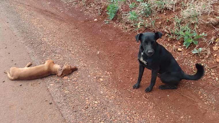 Cão protege corpo de amigo morto em estrada e emociona motoristas