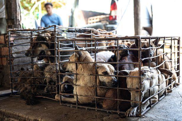 Cães infectados com raiva são mortos e consumidos em restaurantes no Camboja
