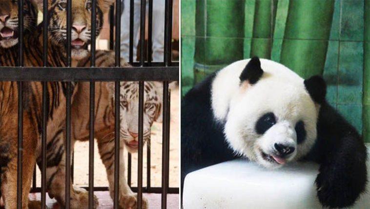 chineses se unem para salvar animais do zoológico de Wuhan