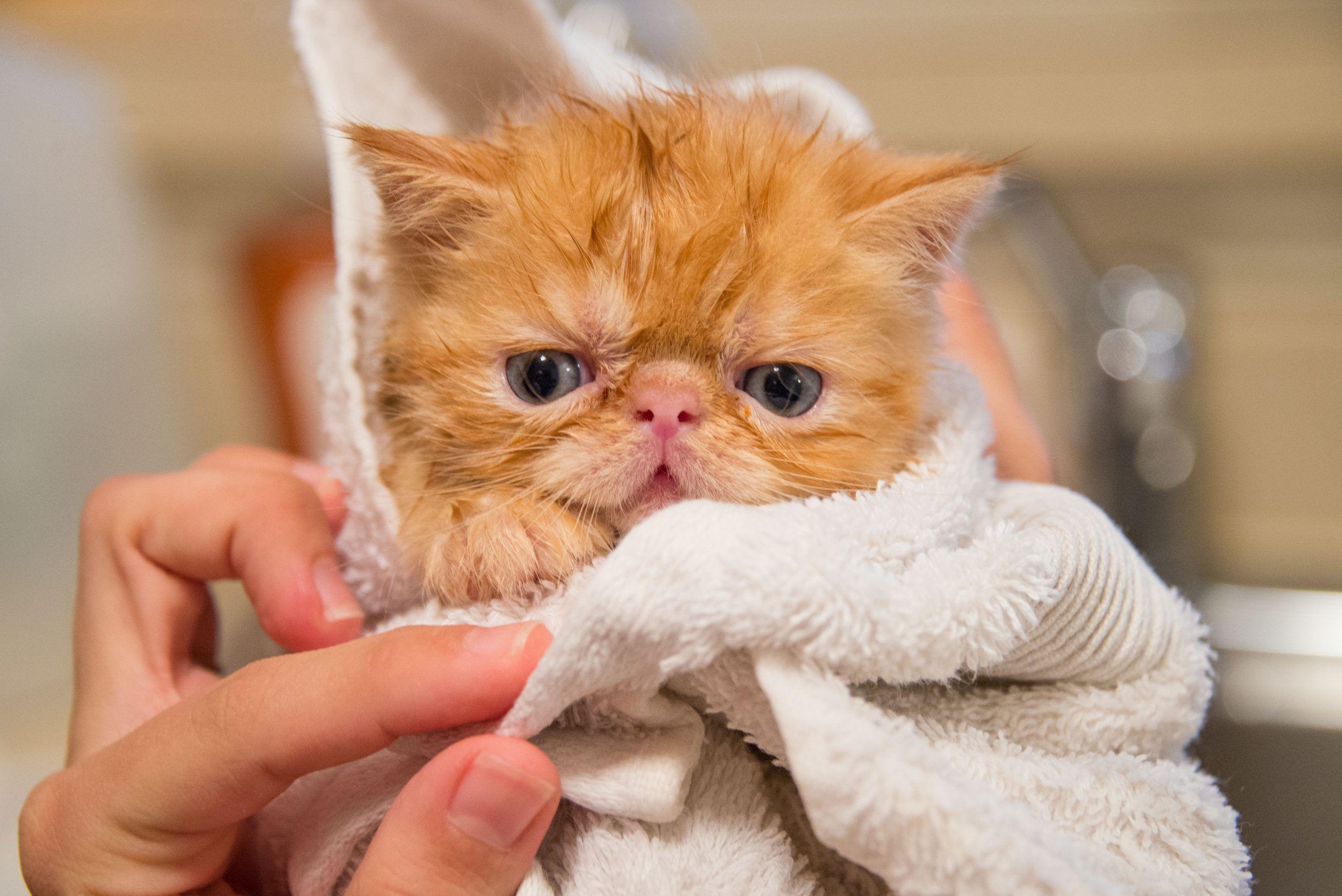 Curiosidades sobre gatos: Gatos precisam tomar banho?