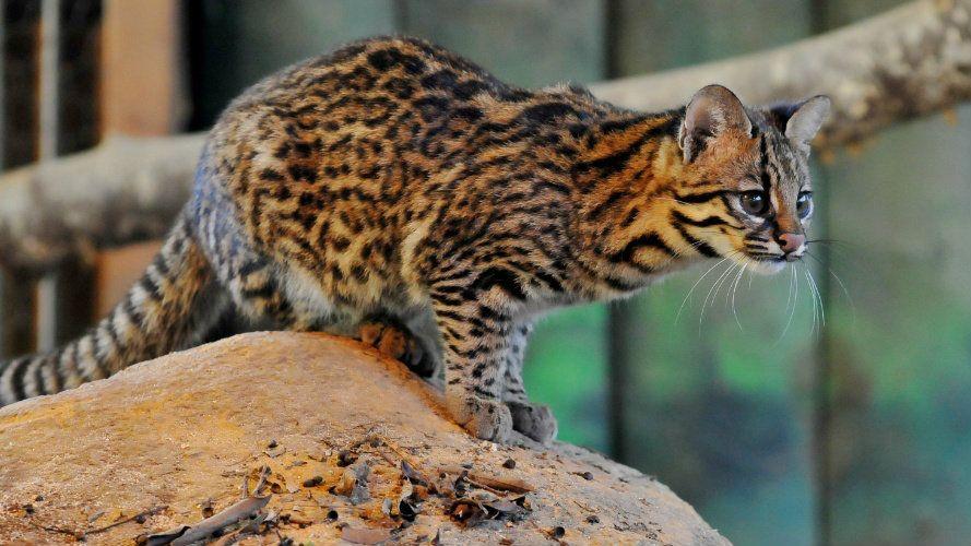 Gato do mato: qual o tamanho de um gato do mato?