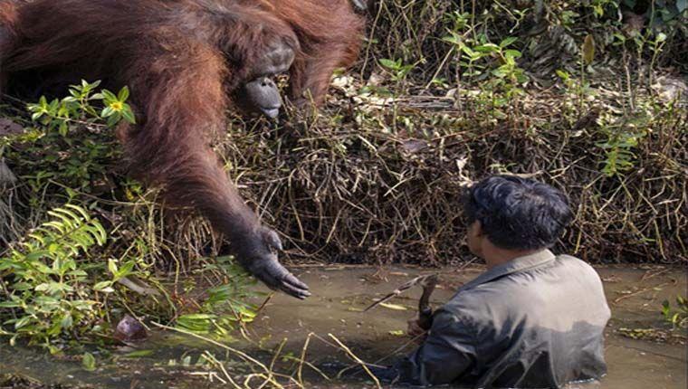 Fotógrafo registra orangotango tentando ajudar guarda florestal a sair do rio
