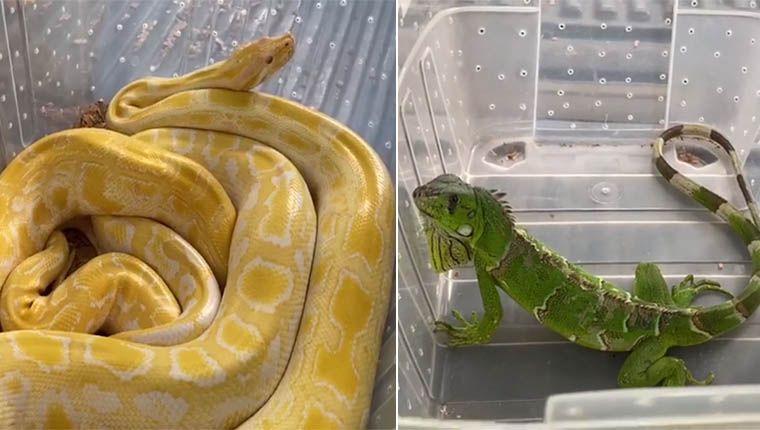 Resgate de animais: Serpentes, lagartos e tucanos são apreendidos pela Polícia Ambiental
