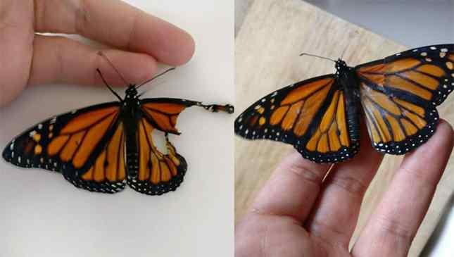 Transplante de asa de borboleta caseiro foi realizado com sucesso