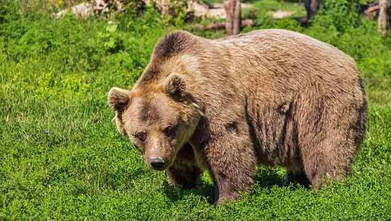 Governo Trump autorizou morte de 72 ursos para dar espaço a gado que pasta em floresta pública
