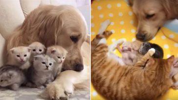Golden retriever se apaixona por gatinhos e ajuda gata a cuidar delesGolden retriever se apaixona por gatinhos e ajuda gata a cuidar deles