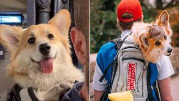 Homem carrega cachorro corgi na mochila